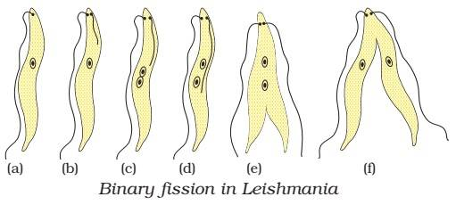binary fission in leishmania